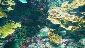 Красивые ветреница и рыбы - клоун на коралловом рифе акции видеоматериалы