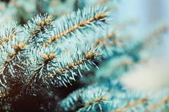 красивые вечнозеленые ветви чудесной ели Стоковое Изображение