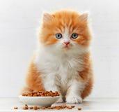 Красивые великобританские длинные котенок волос и шар кошачьей еды стоковые изображения rf