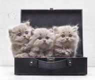 Красивые великобританские длинные котята волос Стоковая Фотография