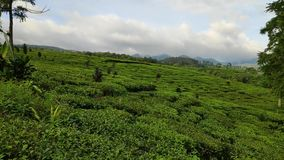 Красивые виды плантаций чая в центральном Batang Ява в Индонезии видеоматериал
