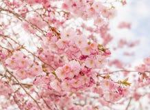 Красивые вишневые цвета в в начале апреля Стоковая Фотография RF