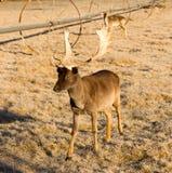 Красивые включенные рожки Antlers лося самца оленя живой природы молодые мужские Стоковое Фото