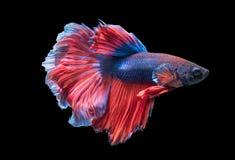 Красивые воюя рыбы изолированные на черной предпосылке, Стоковая Фотография RF