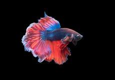 Красивые воюя рыбы изолированные на черной предпосылке, Стоковые Изображения RF