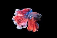 Красивые воюя рыбы изолированные на черной предпосылке, Стоковое Изображение