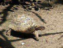 Красивые гигантские черепахи стоковое изображение rf