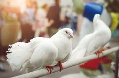 Красивые голуби белизны племенника Птицы размножения стоковое изображение rf