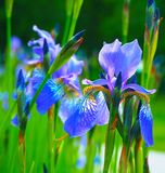 Красивые голубые желтые радужки Цветки на зеленом поле Предпосылка лета весны Стоковая Фотография