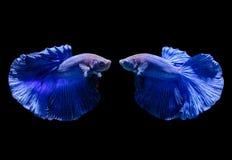 Красивые голубые сиамские воюя рыбы стоковое фото