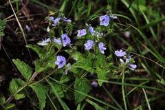 Красивые голубые цветки в луге стоковые фото