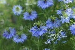 Красивые голубые цветки черного тимона на flowerbed стоковое изображение