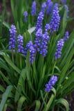 Красивые голубые цветки Muscari в предыдущей весне на цветнике в саде стоковые изображения