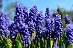 Красивые голубые botryoides muscari цветут, также как виноградный гиацинт в лете Стоковая Фотография RF