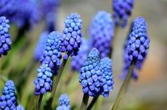 Красивые голубые botryoides muscari цветут, также как виноградный гиацинт в лете Стоковые Изображения