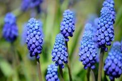 Красивые голубые botryoides muscari цветут, также как виноградный гиацинт Стоковое Фото