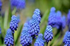 Красивые голубые botryoides muscari цветут, также как виноградный гиацинт Стоковые Изображения