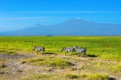 Красивые гора Килиманджаро и зебры, Кения Стоковое фото RF