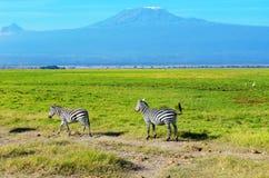 Красивые гора Килиманджаро и зебры, Кения Стоковые Фотографии RF