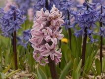 Красивые голубые и розовые цветки Стоковая Фотография RF