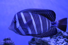 Красивые голубые рыбы в голубом свете Стоковое Изображение