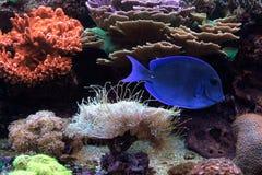 Красивые голубые рыбы живя в жизни глубины океана Стоковое Изображение RF