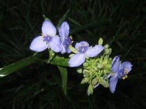 Красивые голубые цветки в темноте Стоковые Изображения RF