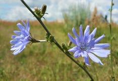 Красивые голубые Wildflowers Стоковая Фотография