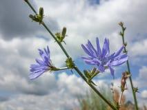Красивые голубые Wildflowers Стоковое Фото