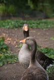 Красивые гусыни в парке Стоковое Фото