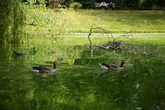 Красивые гусыни в парке Стоковое Изображение