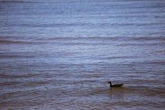Красивые гусыни в парке Стоковые Фотографии RF