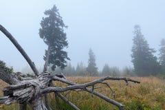 Красивые древесины елевых деревьев как мистический туманный ландшафт Стоковая Фотография RF