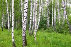 Красивые деревья березы стоковые изображения
