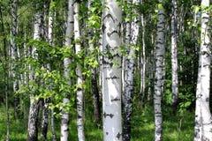 Красивые деревья березы Стоковое Фото