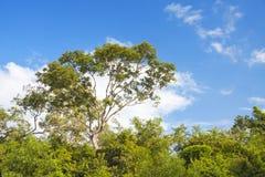 Красивые деревья спруса сини Стоковые Изображения