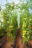 Красивые естественные, который выросли заводы томата Стоковые Изображения RF