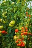 Красивые естественные, который выросли заводы томата Стоковая Фотография