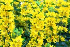 Красивые желтые колоколы зацветая в саде стоковые изображения rf