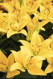Красивая лилия в саде стоковые изображения rf