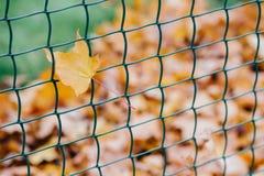 Красивые желтые лист etangled в сети Концепция украшения и идеи проекта Сеть металла с листвой осени Время в ноябре штанга стоковое изображение