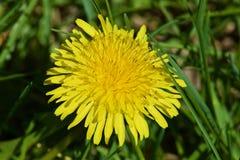Красивые желтые одуванчики Стоковые Изображения RF