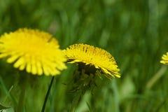Красивые желтые одуванчики Стоковые Фотографии RF