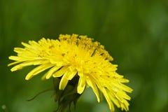 Красивые желтые одуванчики Стоковые Фото