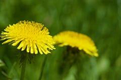 Красивые желтые одуванчики Стоковая Фотография RF