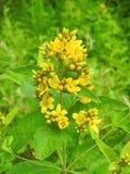 Красивые желтые полевые цветки в луге, Литве Стоковые Изображения