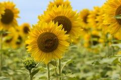 Красивые желтые солнцецветы стоковое изображение rf