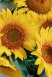 Красивые желтые солнцецветы на светлой предпосылке 1 стоковое фото rf