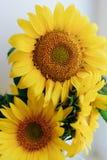 Красивые желтые солнцецветы на светлой предпосылке 1 стоковые изображения rf