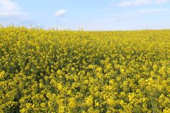 Красивые желтые цветки большего цвета и большей ароматности стоковые изображения rf